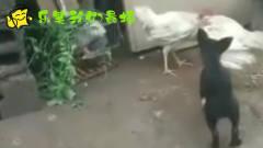 搞笑四川话动物配音:二哈看见2只鸡打架,狗狗