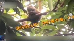"""千元不卖的荔枝竟遇""""小偷"""",苏东坡老宅丹荔"""