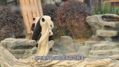 大熊猫失手瞬间,宝宝直呼help,简直不要太搞笑