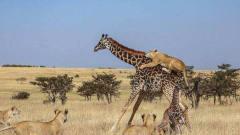 猎奇狮子捕杀小长颈鹿,长颈鹿妈妈非常生气