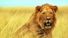 猎奇长颈鹿被几只狮子咬住后腿,拖着狮子走了