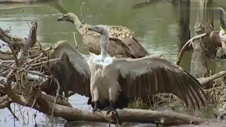 搞笑动物:秃鹫正在进食忽然感到不对劲!还没