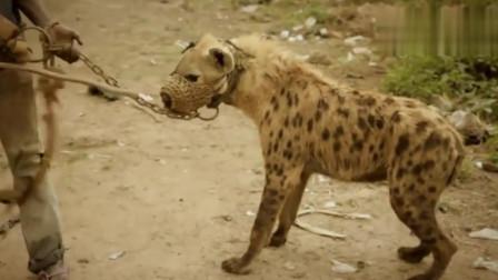 搞笑动物:外国人设陷阱抓鬣狗,用水猛灌洞穴