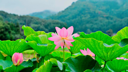 魅力新世纪音乐 Lotus Flower In The Garden