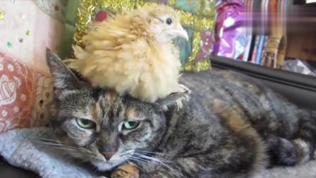 搞笑动物:小鸡把猫当成妈妈一直粘着,本来挺