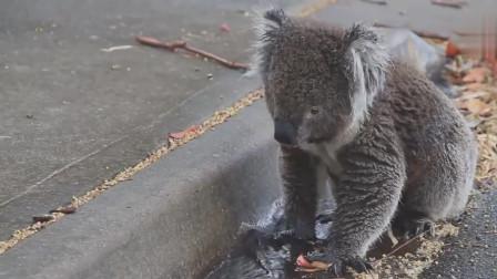 搞笑动物:小松鼠被热得受不了,竟然向路人讨