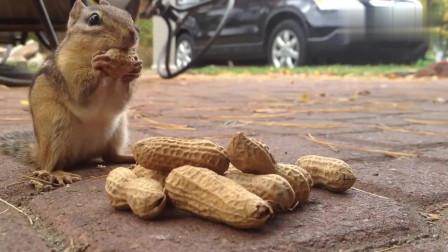 搞笑动物:小松鼠正在树上找吃的,一只老鹰扑