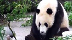 搞笑动物:熊猫宝宝半睡半醒时,*爸说要喝盆盆