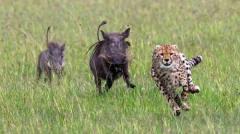 猎奇猎豹兄弟对疣猪一家赶尽杀绝,母疣猪怒了