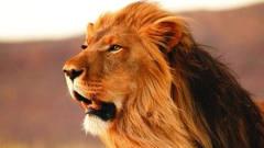 猎奇小狮子河边喝水遭鳄鱼伏击母狮子双眼充满