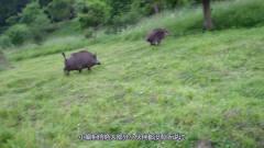 全球独一份的用猴子狩猎野猪,虽然有点搞笑,