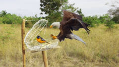 牛人自制捕鸟神器,最后竟然捕获一只老鹰,网