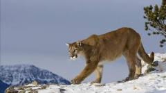 猎奇从小就受欺负的一只美洲狮终于逆袭