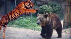 奇闻罕见的棕熊成功从老虎口中夺过食物,还一