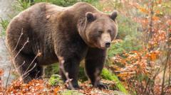 奇闻黑棕熊VS大型猫科动物