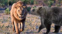 奇闻狮子大战棕熊,这才真正力量的对抗画面,