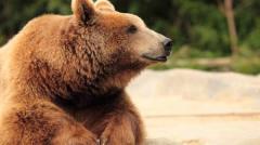 奇闻一头棕熊驮着俩头幼崽游泳渡河