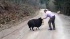 小羊想要攻击主人,不料被两只狗狗发现了,场
