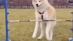 搞笑视频精选君:狗狗会轻功谁也挡不住