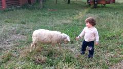 小羊看到宝宝模仿它,羊脾气一下就上来了,镜