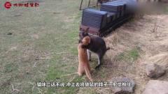 猫咪遇上拳击手袋鼠,试图将袋鼠锁喉,镜头记