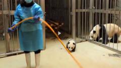 小熊猫想逃跑,没想到被熊猫妈妈发现,直接被