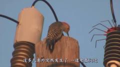 一只啄木鸟被高压电击中后,瞬间原地消失,镜