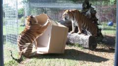 狮子、老虎等猫科动物第一次看见箱子,反应太