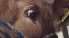 把牛眼泪滴到人眼里,真的能看到灵异的东西么