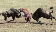 鬣狗追击小角马,角马妈妈疯狂回击,太精彩了