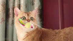 果然猫都喜欢圆形玩具,小橘猫玩球的表情太搞