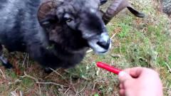 男子喂自家羊吃辣椒,辣的羊无处安放,镜头拍