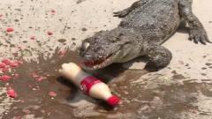 鳄鱼的咬合力有多强?牛人拿来一瓶可乐测试,