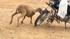 狗狗遭羊追击,怕得躲在车底,镜头拍下搞笑一