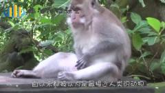 一只猩猩坐在角落独自饮酒,路人递了一包烟给