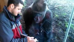 男子玩切西瓜游戏给猩猩看,猩猩看得特别认真