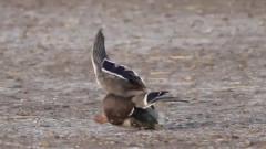 一只鸭子原地离奇死亡,把镜头放慢20倍才发现凶