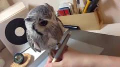 猫头鹰嘴里经常吐小毛球,看着非常的搞笑,球