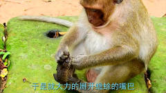 好奇的猴子抓住蟾蜍,一把掰开蟾蜍的嘴,镜头