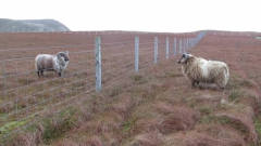两头公羊互相不服气,隔着围栏互怼,镜头拍下