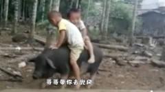 搞笑视频:骑猪当坐骑,是每个农村孩子的梦想