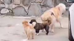 搞笑视频精选君:看狗狗怎么劝架的!