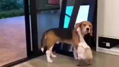 搞笑视频精选君:狗狗和鸭子恋爱了!