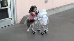 狗狗推购物车去购物,太搞笑了!