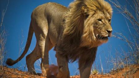 猎奇狮子猎杀长颈鹿,战斗速度太快,简直是秒