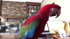 每个鹦鹉难道对音乐都是非常有天赋的吗