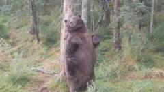 棕熊挠痒好似跳钢管舞,姿势妖娆太辣眼,网友