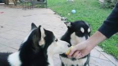 动物挑战吃柠檬,结果让人意想不到!太搞笑了
