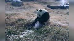 熊猫搞笑视频合集,国宝大红大紫是有原因滴!