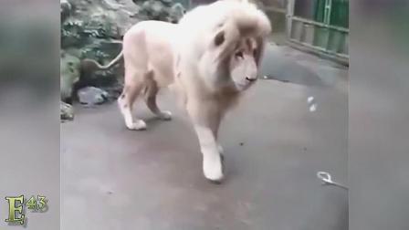 搞笑动物大合集,大狮子的反射弧好长!